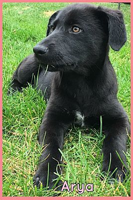 Elburn Il Labrador Retriever Meet Arya A Dog For Adoption Erste Hilfe