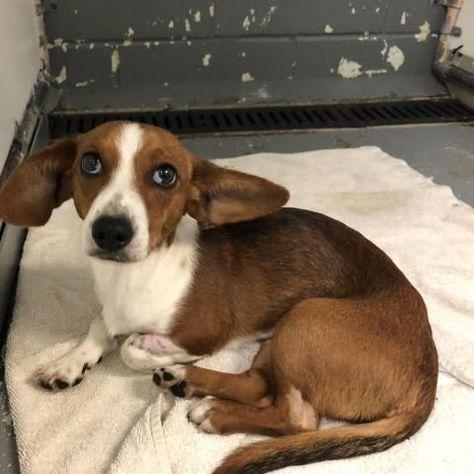 Beagle Dog For Adoption In Austin Tx Adn 824645 On Puppyfinder