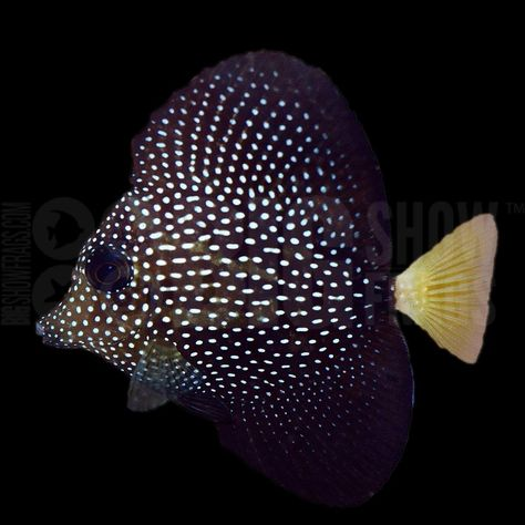 Wholesale Price Gem Tang Zebrasoma Gemmatum Live Saltwater Fish Reef Tank Fish Fish Saltwater Fishing Buying Wholesale