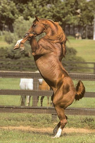 The sun really brought out the gorgeous, rich copper tone in this rearing Arabian horse!