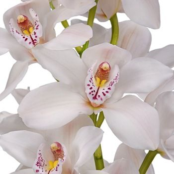 Cymbidium Orchids Blush With Pink Spotted Lip Fiftyflowers Cymbidium Orchids Orchids White Orchids