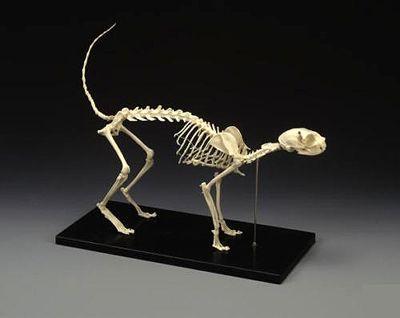 即納 再入荷 ネコの全身骨格模型 レプリカ 頭骨 骨格標本 剥製販売 Core Box 猫 骨格 剥製 骨格標本