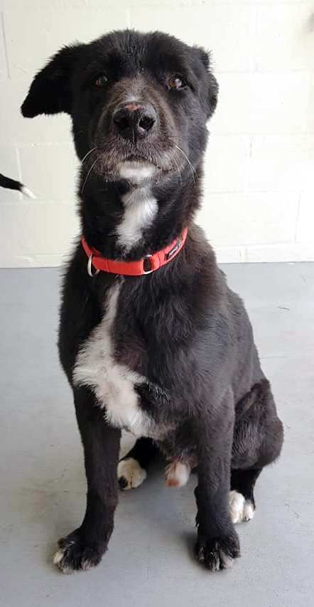 Puerto 8 1 Year Old Male Akita Inu X Border Collie Bonded With