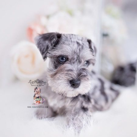 Miniature Mini Schnauzer Puppies For Sale By Teacups Puppies Boutique Teacups Puppies In 2020 Mini Schnauzer Puppies Miniature Schnauzer Puppies Schnauzer Puppy