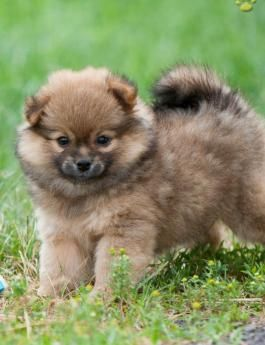 Puppies For Sale All Breeds Lancaster Puppies Pomchi Puppies Puppies For Sale Pomchi Puppies For Sale