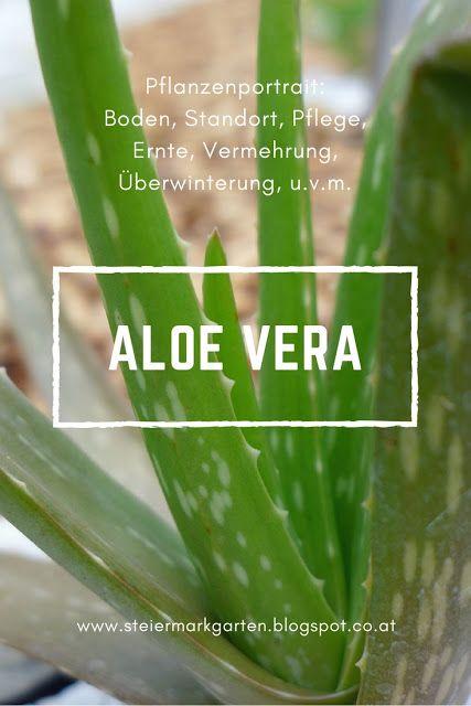 Aloe Vera Aloe Vera Pflanze Pflege Aloe Pflanze Aloe Vera Pflanze