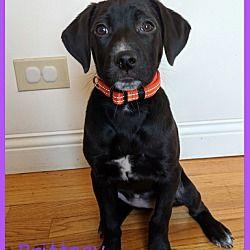Elburn Il Labrador Retriever Meet Brittney A Pet For Adoption
