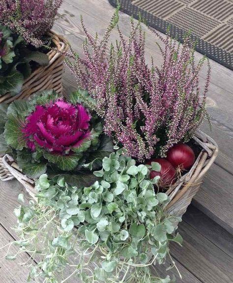 Zierkohl Und Heide Zusammen Gepflanzt Planting Fertilizing Watering Regularly Until Summer Flowers B In 2020 Ornamental Cabbage Container Flowers Heather Plant