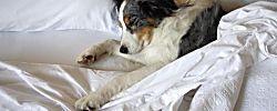 Compartir la cama con un perro da seguridad, protección y nos encanta. Sin embargo, antes de tomar esta decisión debes tener en cuenta los siguientes puntos.