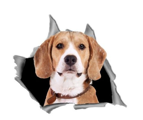 Beagle Car Decal Car Bumper Sticker Car Window Decal Beagle