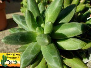 Pachyphytum Chiseled Stones Piante Grasse E Piante