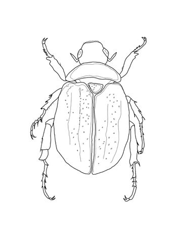 Scarab Beetle Coloring Page Beetle Drawing Beetle Illustration