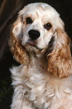 Learn More Info On Cocker Spaniel Dog Look At Our Web Site American Cocker Spaniel Cocker Spaniel Dog English Cocker Spaniel