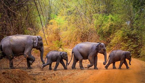 Jungle Procession Minneriya Elephant Animal Wild Wildlife