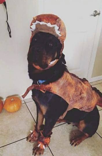 Ah The Rare Extinct Dinosaur Rottweiler Rex Rottweiler Animals Canine