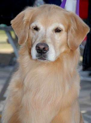 Pin By Sherry Andrews On Aa4a Nature Man S Best Friend 2 Dogs Golden Retriever Dogs Golden Dog