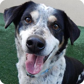Petaluma Ca Basset Hound Australian Cattle Dog Mix Meet Toro
