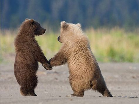 Just follow me...  Grizzly cubs