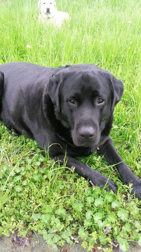 Pin By Mareike Brink On I Labradors Dog Heaven Labrador Retriever Black Labrador