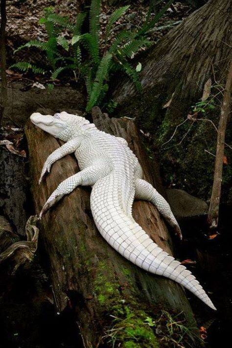 """An extremely rare white (""""leucistic"""") alligator, with blue eyes."""