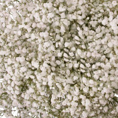 Gypsophila Baby S Breath Snowball 5 Or 10 Bunches In 2020 Sams Club Flowers Popular Flowers Flower Care