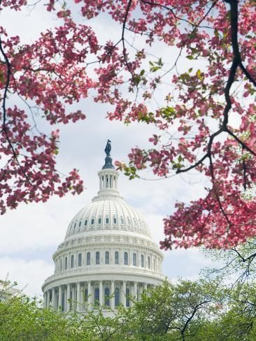 United States Capitol Dome In Washington D C And Flowering Spring Trees Photographic Print Tim Mcguire Art Com United States Capitol Spring Tree Capitol Building