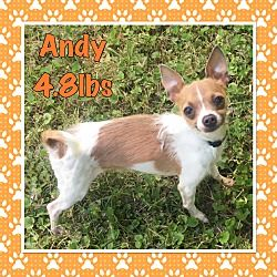 Fort Wayne Indiana Chihuahua Meet Andy A For Adoption Https