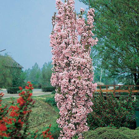 Prunus Incisa Kojo No Mai Gorgeous Small Tree Flowering Cherry Full Sun Or Light Dappled Shade Early Sprin Ornamental Trees Ornamental Cherry Potted Trees
