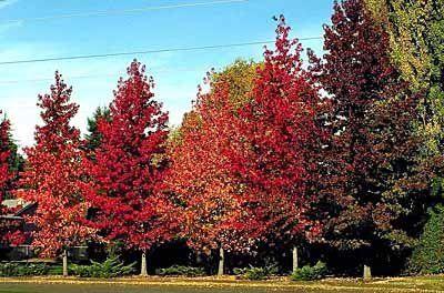 Liquidambar styraciflua -15 sjemenki Veliko parkovno drvo, posebne jake specifične boje listova