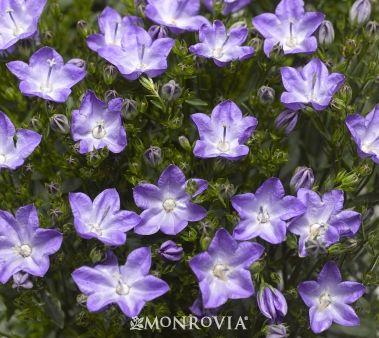 Monrovia S Beyond Blue Bellflower Beyond Blue Monrovia Plants Bellflower
