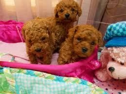 Toy Poodle Puppies For Sale Waz Zap What Sapp 60172415563 For Sale