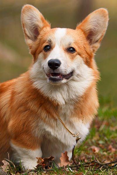 Pembroke Welsh Corgi Corgi Corgi Dog Corgi Facts
