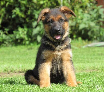 A Donner Chiot Type Berger Allemand Femelle Adoption Don Animaux Estavar 66800 Avec Vivastreet Chiot Chiot A Donner Donne Chien
