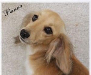 Wire Hair Und English Cream Dachshund Puppies Zu Verkaufen English Cream Dachshund Cream Dachshund Dachshund Puppies For Sale