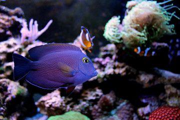 Kole Yellow Eye Tang Ctenochaetus Strigosus Stock Images Free Royalty Free Images Image