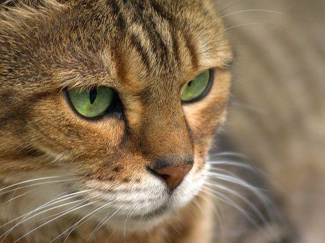 Bengal close-up