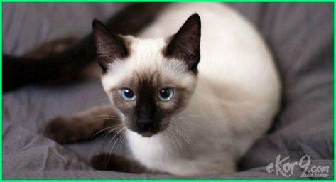 17 Gambar Jenis Kucing Yang Paling Cantik Di Dunia Animals Cats