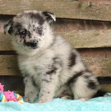Pomsky Puppy For Sale In Gap Pa Adn 58144 On Puppyfinder Com