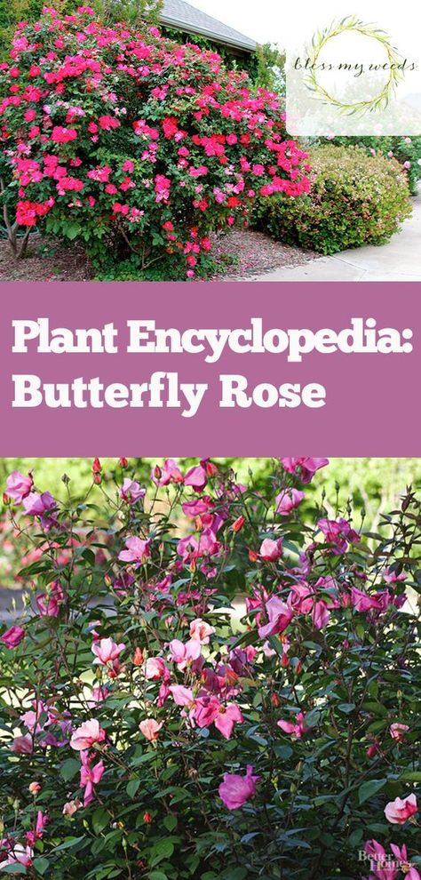 Plant Encylopedia: Butterfly Rose   Bless My Weeds| Butterfly Rose,  Butterfly, Gardening, Growing Rose, Growing Butterfly Rose, How To Grow  Butterfly Rose, ...
