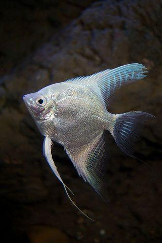 Platinum Angelfish Angel Fish Fresh Water Fish Tank Cool Fish