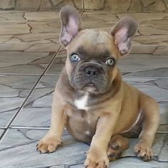 French Bulldog with Bright Blue Eyes.I wish I could just bibbity boppity boo this little love right into my arms!