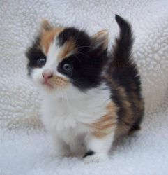 Very Rare Short Legged Munchkin Available Pasir Ris Free Classifieds In Singapore Munchkin Cat Munchkin Kitten Kittens Cutest