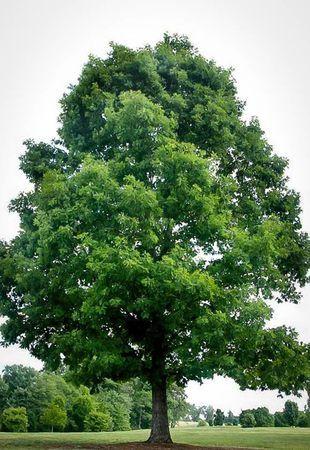White Oak Grows Hardy In Zones 3 9 White Oak Tree Oak Tree Tattoo Types Of Pine Trees