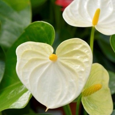 Pin By Ashlyn Sandall On Jandines In 2020 Anthurium Flower Anthurium Plant Annual Plants