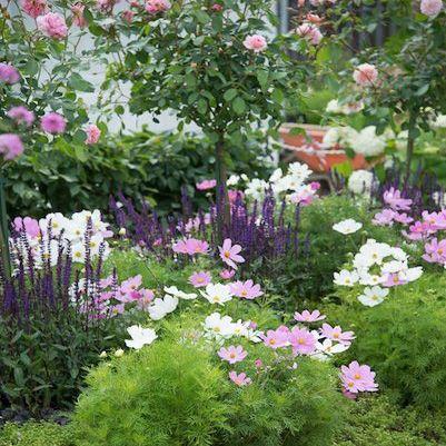 Pillangovirag Cosmos Bipinnatus Ligeti Zsalya Salvia Nemorosa Colorful Garden Garden Design Backyard Landscaping