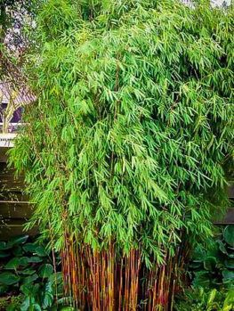 Beautiful B Q Bamboo Plants Only On This Page Bamboo Plants Bamboo Landscape Golden Bamboo Plant