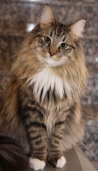 Norwegische Waldkatze Katzen Katzenliebhaber Lustigekatzen Katzen Maja Empfiehlt Www Majaempfi Norwegian Forest Cat Forest Cat Siberian Cats For Sale