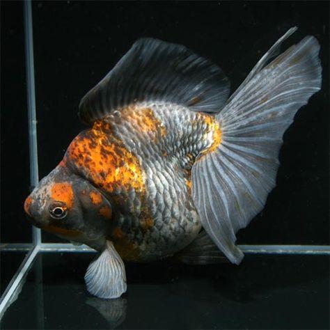 Ryukin Goldfish Goldfish Ryukin Goldfish Goldfish Types