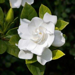 Gardenia Augusta Florida Buy 200mm Plants 11 00 Each Gardenia Shrub Gardenia Bush Plants