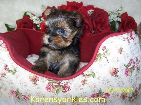 Party Yorkies Parti Yorkies Yorkie Puppies For Sale Yorkies For
